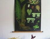Pull Down School Chart, Botanical Print, Fern, Ferns, Jung Koch Quentell, Forest, Vintage 1950s 1960s
