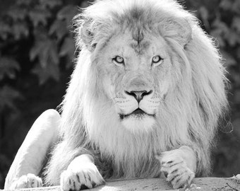 Lion art print, large animal picture, black and white photo, canvas, nursery wall decor, nature photography 5x7 8x10 11x14 16x20 20x30 30x45