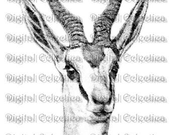 Antelope Engraving. Antelope PNG. Antelope Prints. Antelope Images. Antelope Pictures. Antelope Clipart. Antelope Drawings. No. 0194.