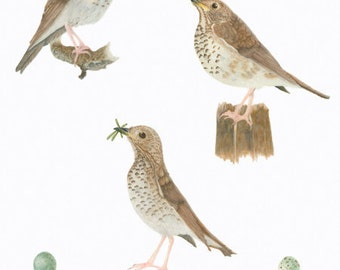 Bicknell's Thrush/BIRD ILLUSTRATION/Archival Giclee Print/Ornithology, Conservation/Browns