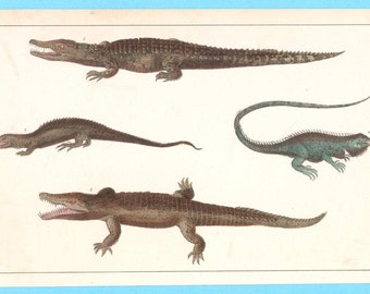 Antique crocodile alligator and lizards illustration