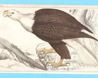 Antique Eagle (Bald eagle?) illustration