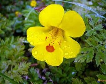 Mimulus guttatus Seeds, Yellow Monkey Flower, Seep monkeyflower, Flower Essence Plant, Medicinal Herb, Edible Plant, Used to treat Fear