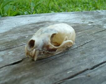 Real Mink Skull