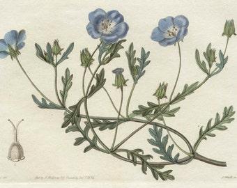 Showy Nemophila - Californian native, original botanical engraving 1834