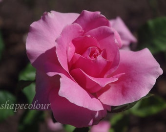 Pink rose - Nature photography print