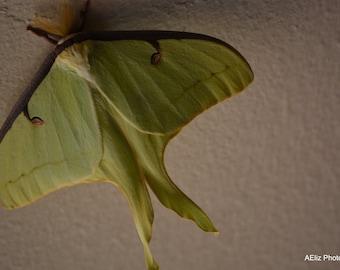 Luna Moth Green Brown