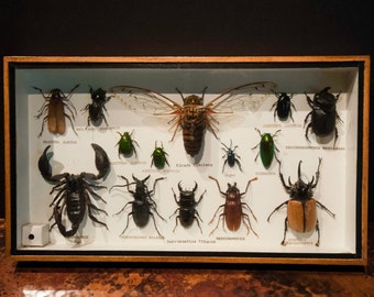 Mounted and Preserved Insect Collection of Beetles, Cicadas, Scorpions and Scarabs