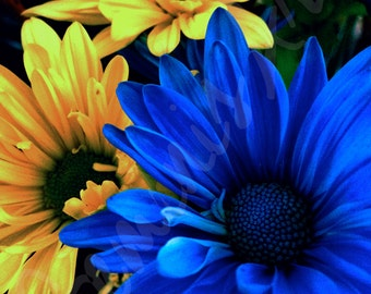 Blue & Yellow Daisies