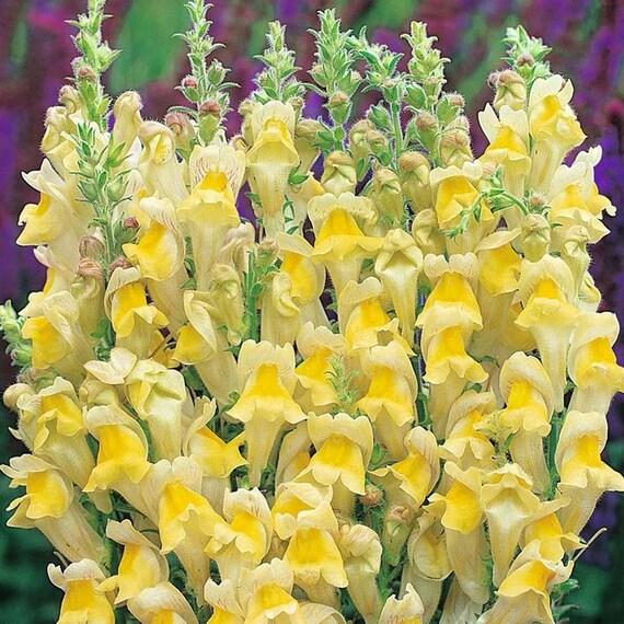 Antirrhinum Braun Blanquetii Perennial Snapdragon 20 Seeds