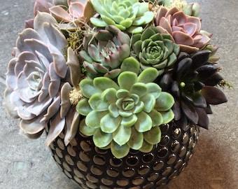 Succulent Arrangement in Gold Studded Vase