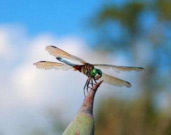 My Fair Dragon Fly