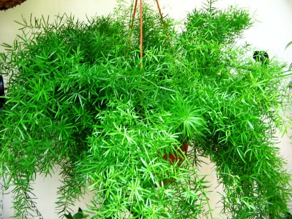 Asparagus Fern Live Plant House Plant Hanging Basket Easy