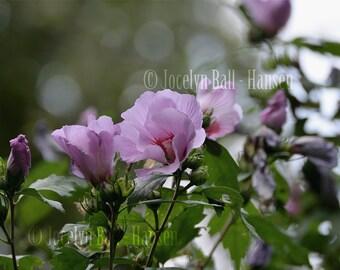 Rose of Sharon Print, Light Purple Pink Wild Rose of Sharon Fine Art Photo, Purple Flowering Bush Photo, Flowers in Beautiful Light