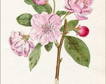 Vintage Apple Blossoms  Botanical, Floral Bookplate Print for Framing, Pale Pink Apple Blossoms Flower