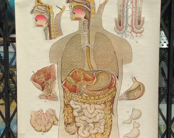 1940s Digestive System Anatomical Chart Rudolph Schick