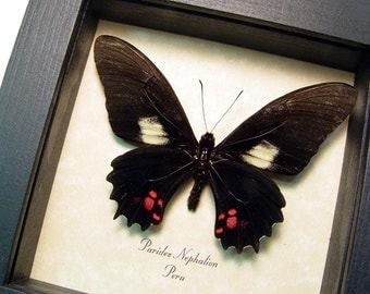 Real Parides Nephalion Framed Butterfly Shadowbox Display 8311