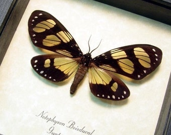 Real Framed Notophyson Boisduval Rare Clear Winged Day Flying Moth 8337
