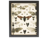 Old Entomology Print and Real Framed Cicada Display