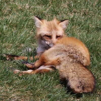 FoxyFleece