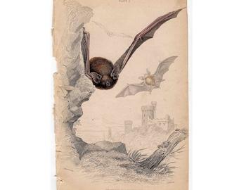 1838 ANTIQUE BAT vespertilio pipistrellus original antique bats engraving print