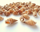 Mini Seashells Beach Wedding Table Scatter Spotted Nassarius Embellishments