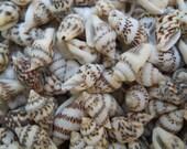 mixed mini tiny nassa seashells BEACH NAUTICAL DECOR weddings crafts