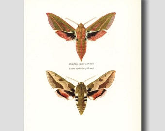 Science Art, Moth Print, Vintage Natural History Book Plate, 1960s Butterfly Illustration, No. 118-2