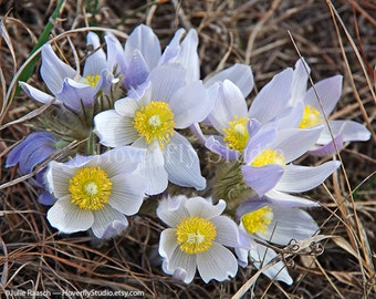 Pasque Flowers - Native Prairie Plant - Nature Photography
