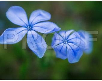 Plumbago Blooms Blue print only