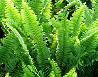 "6 Live Bare Root Boston Ferns with ""FREE"" Shipping!!!"
