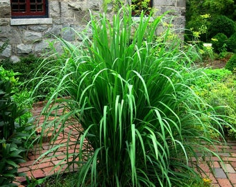 Lemongrass, Asian herb, fresh seeds, fragrant, soothing bath, medicinal, perennial in warm zones 9-11, container plant, lovely tea