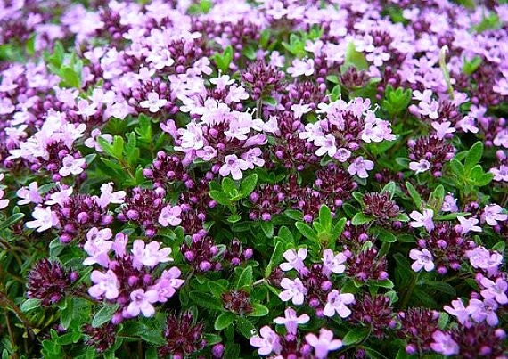 Creeping thyme ground cover 1000 seeds fragrant herb for Low maintenance perennials zone 4