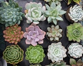 Succulent Plant - You Choose 10 presold  be shipped in pots for sammietwinks.