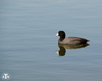 American Coot, Nature Photography, Duck, Blue Water, Reflection, Black, Fine Art, Waterfowl