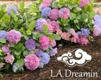 L.A. Dreamin TM Everblooming Mophead Hydrangea - Live Plant - 4 Inch Pot