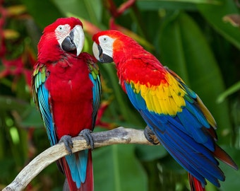 Macaws (Art Prints available in multiple sizes)