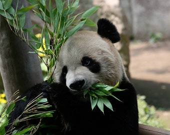 Panda (Art Prints available in multiple sizes)