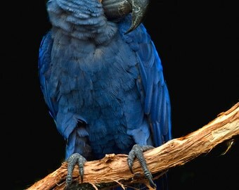 Blue Macaw (Art Prints available in multiple sizes)