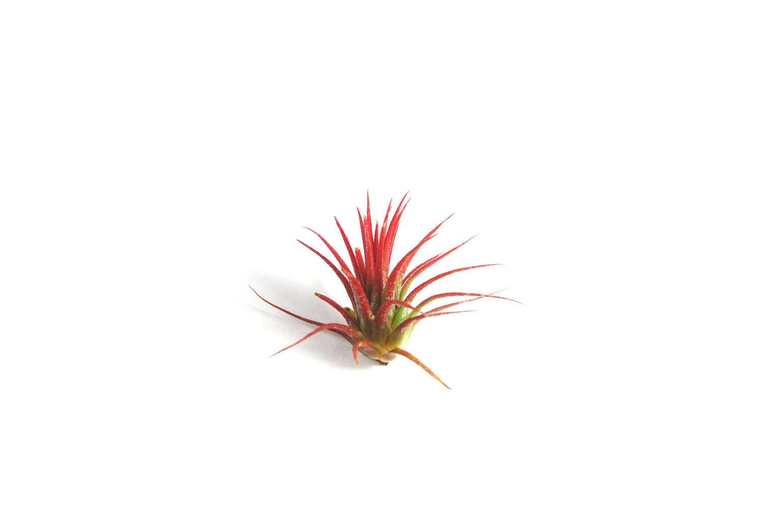5 Pack Air Plant Ionantha Fuego Set Of 5 Fast Free