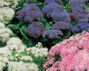 Ageratum- various color variations- 100 seeds