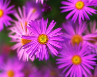 Violet Aster Flower Photograph, Purple Flowers, Asters, Fine Art Photograph for Your Home and Office Wall Decor
