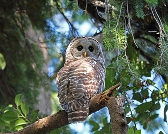 Owl Print, Barred Owl, Owl Decor, Bird Photograph, Animal Print, Raptor Print, Bird Art, Wildlife Photography, Nature Photograph, Wild Owl