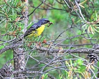 Nature Photo Art | Kirtlands Warbler | Bird Photograph | Bird Feeding | Caterpillar | Endangered Bird | Michigan Songbird Decor | Bird Print