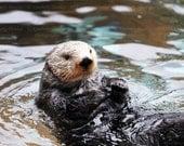 Fine Art Sea Otter Photograph {Wildlife Photography, Nature Photo, Ocean Print, Marine Mammal Decor, Endangered Animal, Pacific Northwest}