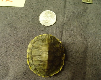 BABY Natural Red Eared Slider Turtle Shells 1 - 2 inch Hard to Find Size Collectible #TU16