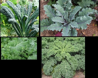 COMBO PACK KALE 50 Seeds each Lacinato, Red Russian, Blue curled Vates, and Siberian