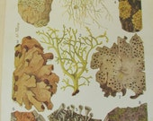 Antique 19th Century Italian Botanical Coloured Book Plate  Lichen  Ideal For Framing  VIII