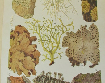 Antique 19th Century Italian Botanical Coloured Book Plate - Lichen - Ideal For Framing # VIII