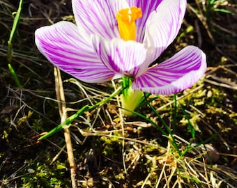 Nature Photography - Flower Photography - Spring Photography - Botanical Print - Purple Crocus - Purple and White Flower